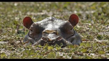 La Isla de los Hipopótamos_TRALER (ES)